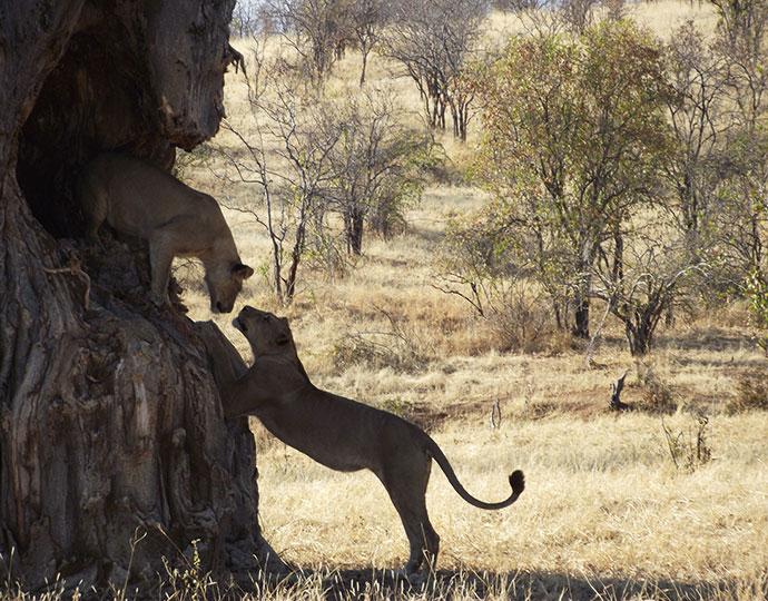 ruaha-carnivore-project-blog-post